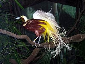 Lesser Bird Of Paradise Flying