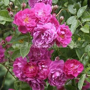 Rosen Düngen Im Frühjahr : taunusbl mchen rosen online kaufen im rosenhof schultheis rosen online kaufen im rosenhof ~ Orissabook.com Haus und Dekorationen