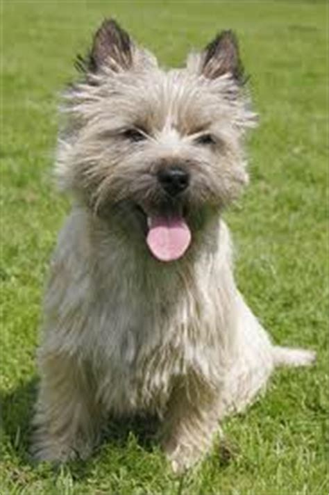 Cairn Terrier Shed Hair by Do Cairn Terriers Shed And Other Important Things To