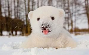 Baby Polar Bear Gif - wallpaper.