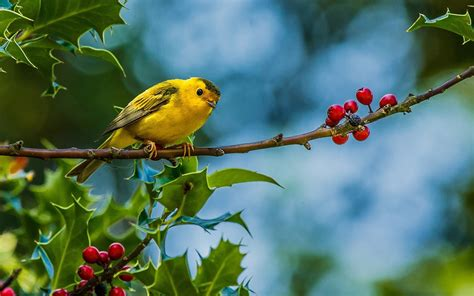 birds, Animals, Finches Wallpapers HD / Desktop and Mobile ...