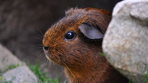 wallpaper guinea pig brown cute animals animals