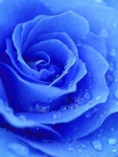 rosa blu  gocce sfondo wallpaper  disegni da