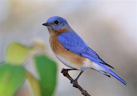 blue birds common birds u city in bloom