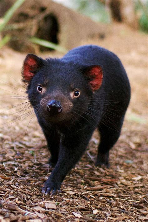 Though tasmanian devils can live anywhere on the island. 9 Places Where You Can Find an Actual Tasmanian Devil - Fodors Travel Guide