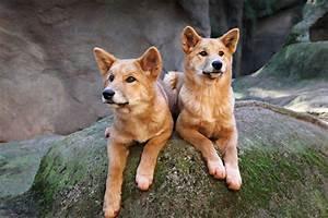 dingo, wallpapers, high, quality