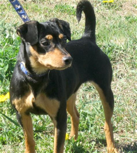 lost chihuahua min pin mix