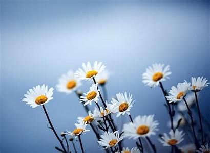 Daisy Daisies Flowers Wallpapers Desktop Colors Flower