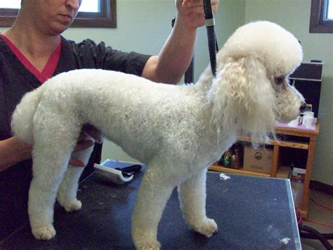 1000+ Ideas About Poodle Cuts On Pinterest