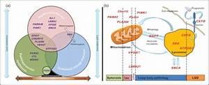 A  The Parkinsonian Mitochondrial U2013lysosomal Triangle