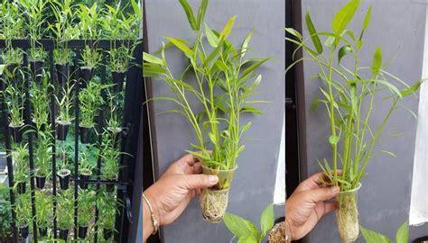 tanaman hortikultura cocok ditanam dekat rumah