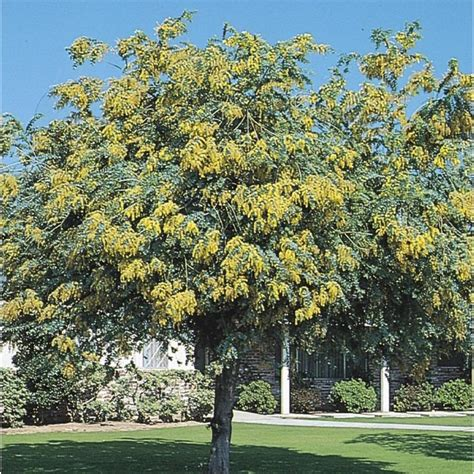 11 1 gallon yellow bailey acacia feature tree in pot with soil lw03546 at lowes