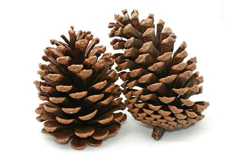 where can you buy pine cones my cottage in the feed the birds