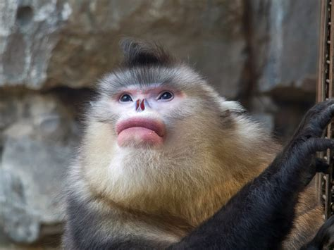 10days Wild Yunnan Black Snubnosed Monkeys In