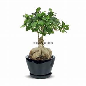 Bonsai Ficus Ginseng : ginseng ficus bonsai small ifloweryou flowers delivery lebanon ~ Buech-reservation.com Haus und Dekorationen
