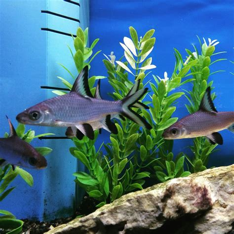 25 best ideas about tropical freshwater fish on
