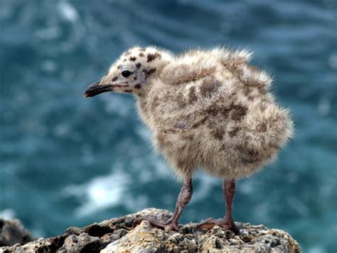 Di Gabbiano - piccolo di gabbiano foto immagini animali natura foto
