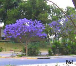 blue orchids for sale jacaranda mimosifolia toptropicals
