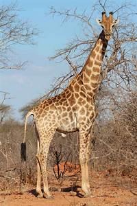 Tammie Matson » giraffe  Giraffe