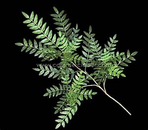 Artificial Acacia Foliage - Commercial Silk Int'l