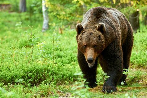 bears disembowel oil worker store  eaten body