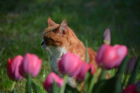 Is heather toxic for cats