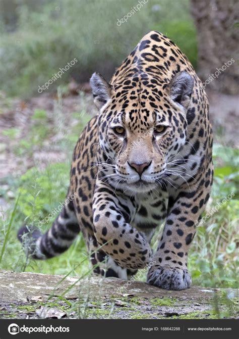 Jaguar Photo by Fotos Jaguar Animal Animal Salvaje Jaguar Foto De