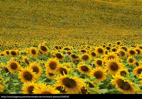 sonnenblumen 3 lizenzfreies bild 359233 bildagentur