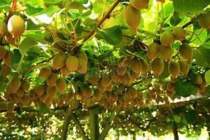 L Arbre Du Kiwi : kiwis sur l 39 arbre image stock image du d licieux m ri 9165659 ~ Melissatoandfro.com Idées de Décoration