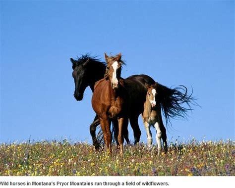 montana wild horses via horse mustangs brett there mustang stallions
