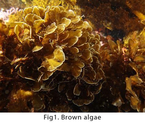 brown algae cupricide the affordable algicide