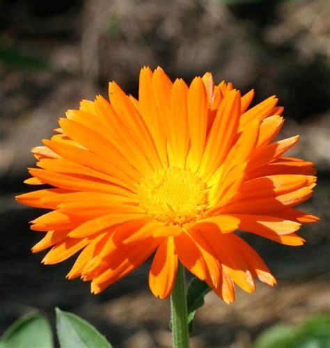 single orange calendula seeds west coast seeds