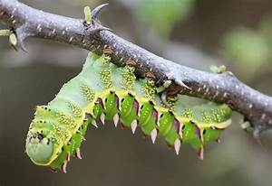 Marbled Emperor Caterpillar From Namibia