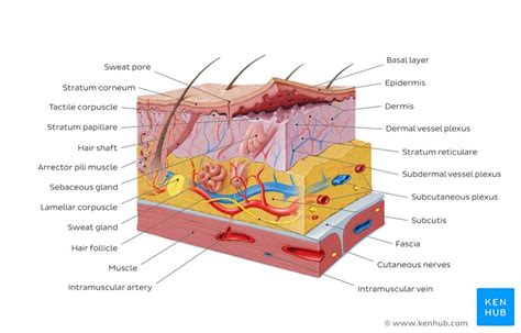 Skin Cell Diagram Label by Integumentary System Parts Quizzes And Diagrams Kenhub