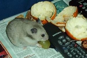 Was Fressen Ratten : hamster info ern hrung ~ One.caynefoto.club Haus und Dekorationen