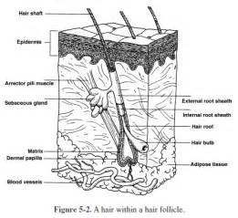 Collection of Integumentary System Worksheets - Sharebrowse