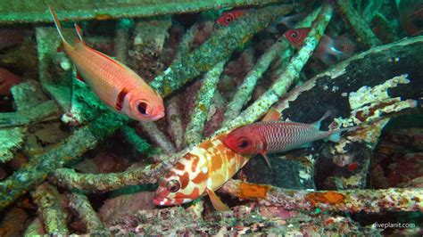 grouper fish reef seaventures pain feel science mabul sabah dive diving malaysia soldierfish tipped tooth diveplanit argues otherwise published week
