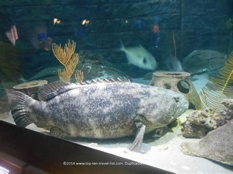 grouper aquarium goliath florida tampa fish features downtown must unique