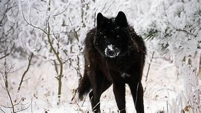 Wolf Wallpapers Desktop Wolves Dark Pack Wolfs