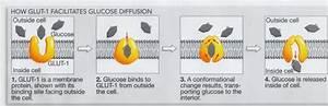 Glucose transporter-1(GLUT-1) – Biochemistry for Medics ...