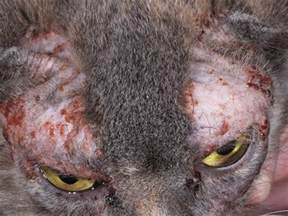 cat food for allergies my kitten has scabs forming around his ears