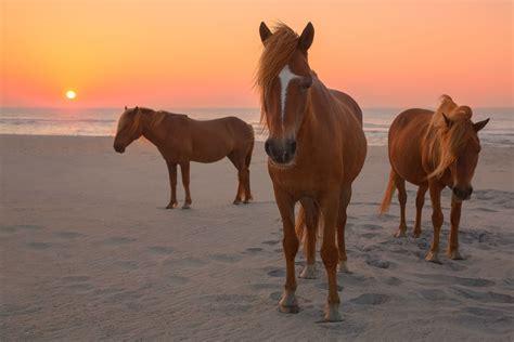 assateague horses island beach chestnut sunset wild maryland horse beaches washington near dc seashore national ponies running paarden photowall three