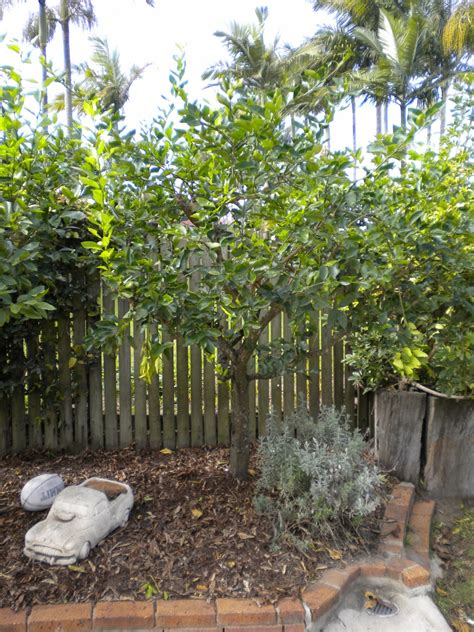 miniature fruit trees lime tahitian tree citrus latifolia