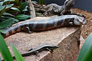 The Blue Tongue Lizard | Snake Catcher - Gold Coast & Brisbane