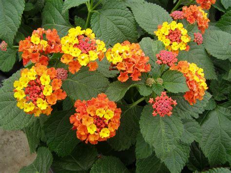 lantana plant the aspiring housewife garden paint 20 mini makeover
