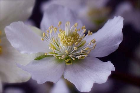 Hellebore...a Winter Flowering Plant
