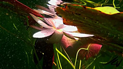 wow  whats   lily pads sony  hd