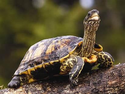 Turtle Desktop Wallpapers Wallpapersafari