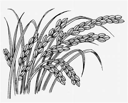 Rice Clipart Lines Creative Line