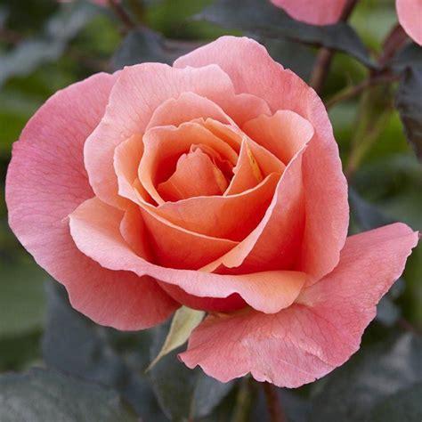 Rose Fragrant Delight  Floribunda Bush Rose